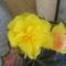 Begónia-egész nyáron virágzott