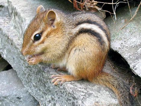 Csíkos mókus