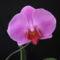 Phalaenopsis hybrid 3