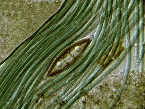 Kovamoszat cianobaktériumok között