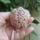 Anna virágai