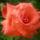 Az én rózsáim 2013. 06.19.-n  album