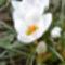 Fehér krókusz 3