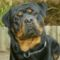 rottweiler270507_468x396