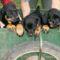 Rottweiler-kiskutyak-2