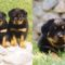 Rottweiler-Puppies-Pictures