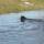 Rottweiler-vizes képek