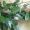 Viaszvirág