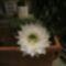sünkaktusz virága