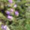 csalánlevelű harangvirág