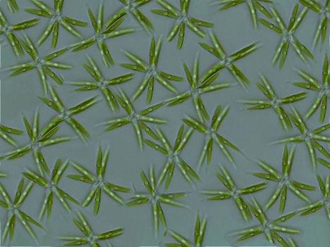 Mikroalgák 2