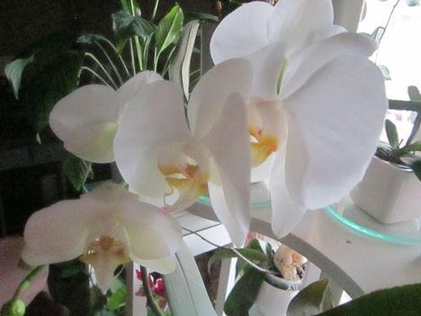 virágaim 1:Orchideam