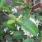 virágaim 2: koszorúfutoka