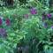 Bougainvillea, lila murvafürt