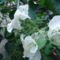 Fehér bougainvillea, - murvafürt