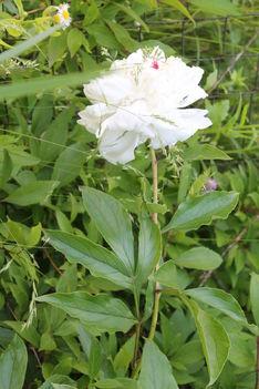 fehér pünkösdi rózsa 1