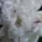 fehér pünkösdi rózsa 2