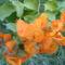 Narancssárga murvafürt