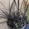 """Ophiopogon planiscapus """"niger""""  - japán fekete kígyószakáll"""
