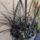 Ophiopogon_planiscapus_niger___japan_fekete_kigyoszakall_1755007_6423_t