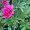 rózsaszín pünkösdi rózsa 1