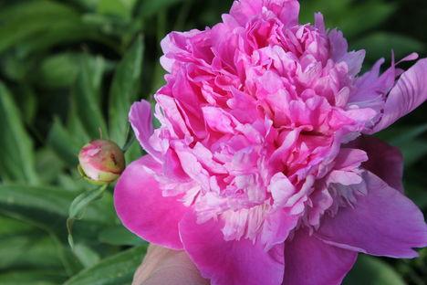 rózsaszín pünkösdi rózsa 2