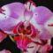 Lepkeorchidea 1