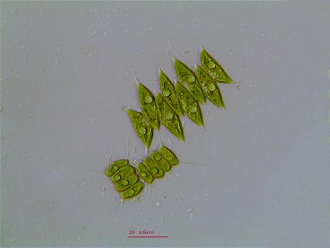 Mikroalgák x