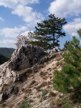 a sziklafal szélfújta fenyői