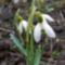 hóvirág march4 09