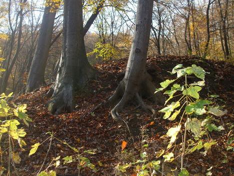 Kapaszkodó fák
