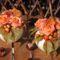 Ceffa virág - 2013 őszi díszek