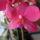 Phalaenopsis_hibrid_1763981_9790_t