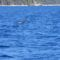 Sarti delfin