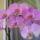 Zsófia orchideája