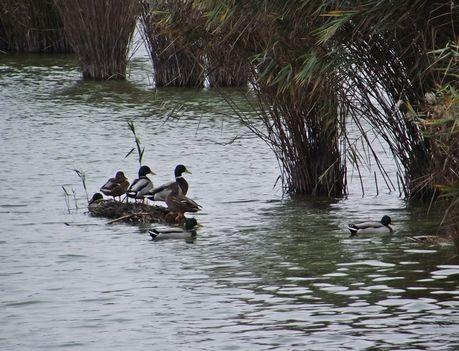 Bujtosi tó tőkés récék sziegete