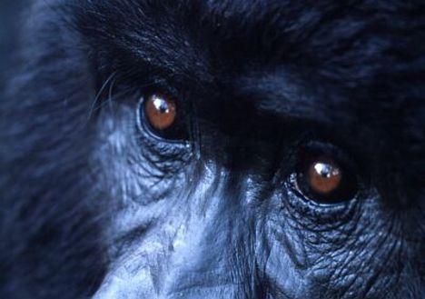Ezüsthátú gorilla arca