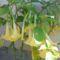 trombita virág ősszel