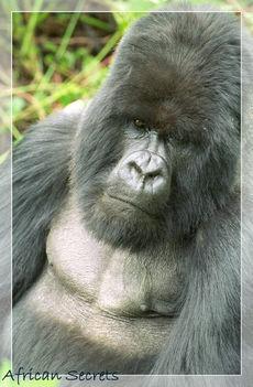 Ugandai gorilla