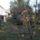 Datolyaszilvafa_baratnom_kertjeben_1772683_5119_t