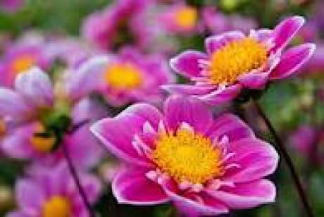 szep--rozsaszin-viragok