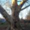 a 200 éves kőszegi platánfa