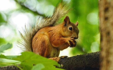 a mókus eszi a mogyorót