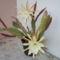 köszöntöm az Andrásainkat ezzel a kaktusz virággal