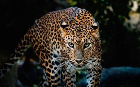 leopard 188036