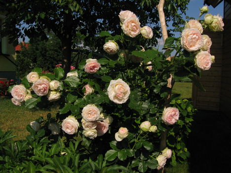 Eden Rose  ( futórózsa )