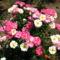 francia rózsa