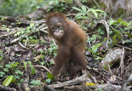 orangután 3