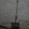 Füzértekercs (Spiranthes cernua va. odorata 'Chadd's Ford')  2