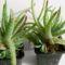Aloe echinata
